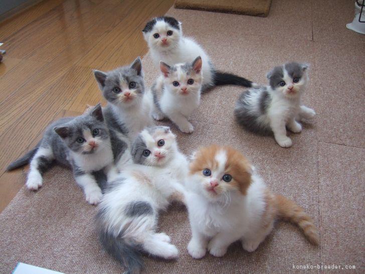 「子猫 ブリーダー」の画像検索結果