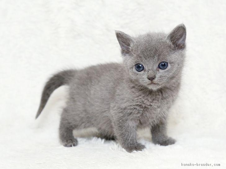 みんなの子猫ブリーダー|ロシア...