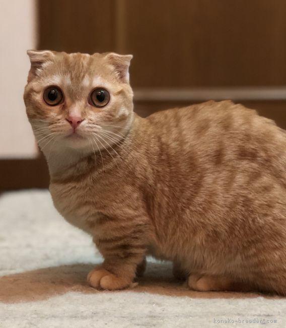 みんなの子猫ブリーダー|マンチカン(短足) 女の子 レッド 2017/10/15生まれ 大阪府 子猫ID1801,00327  \u203b子猫よりちょっと大きくなった大きさで大人! 特別価