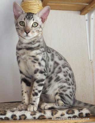 販売中のベンガルの子猫はこちら