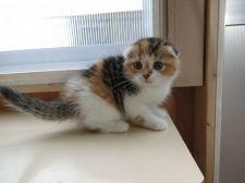 https://scottish-fold.koneko-breeder.com/breeder/data/my114262/cat_img_1_thumb_pc_dc4b6.jpg