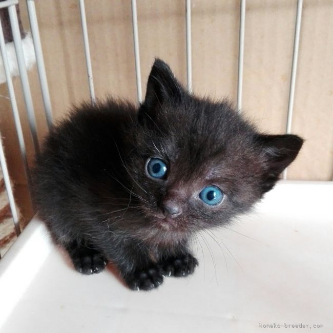 販売中のマンチカンの子猫はこちら
