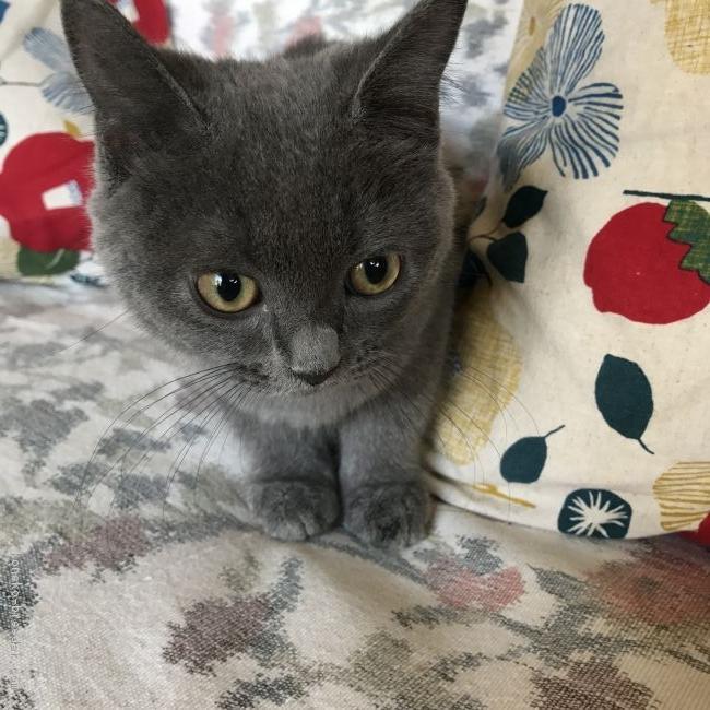 フォールド ブリティッシュ 猫図鑑