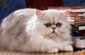 ペルシャ猫の一つのバリエーション・チンチラペルシャ。西暦1500年より前に存在していたとされるペルシャ猫の歴史のなかで、チンチラペルシャは1800年代後半のイギリス