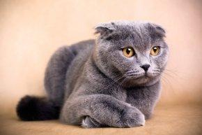 スコティッシュフォールドの子猫を探す 専門ブリーダー直販の