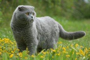 スコティッシュフォールドの子猫を探す|専門ブリーダー直販の