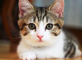 マンチカンの子猫を探す 専門ブリーダー直販の子猫販売