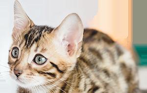 ベンガル猫 子猫