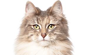 ノルウェージャンフォレストキャットの子猫を探す|専門
