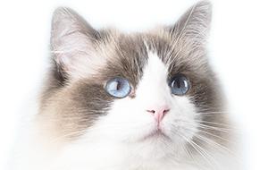 ラグドールの子猫を探す|専門ブリーダー直販の子猫販売