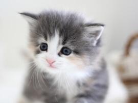 ようこそ『みんなのノルウェージャンフォレストキャット子猫ブリーダー』へ