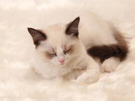 ようこそ『みんなのラグドール子猫ブリーダー』へ